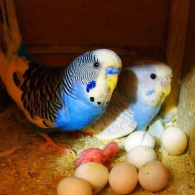 Parakeets and their young!